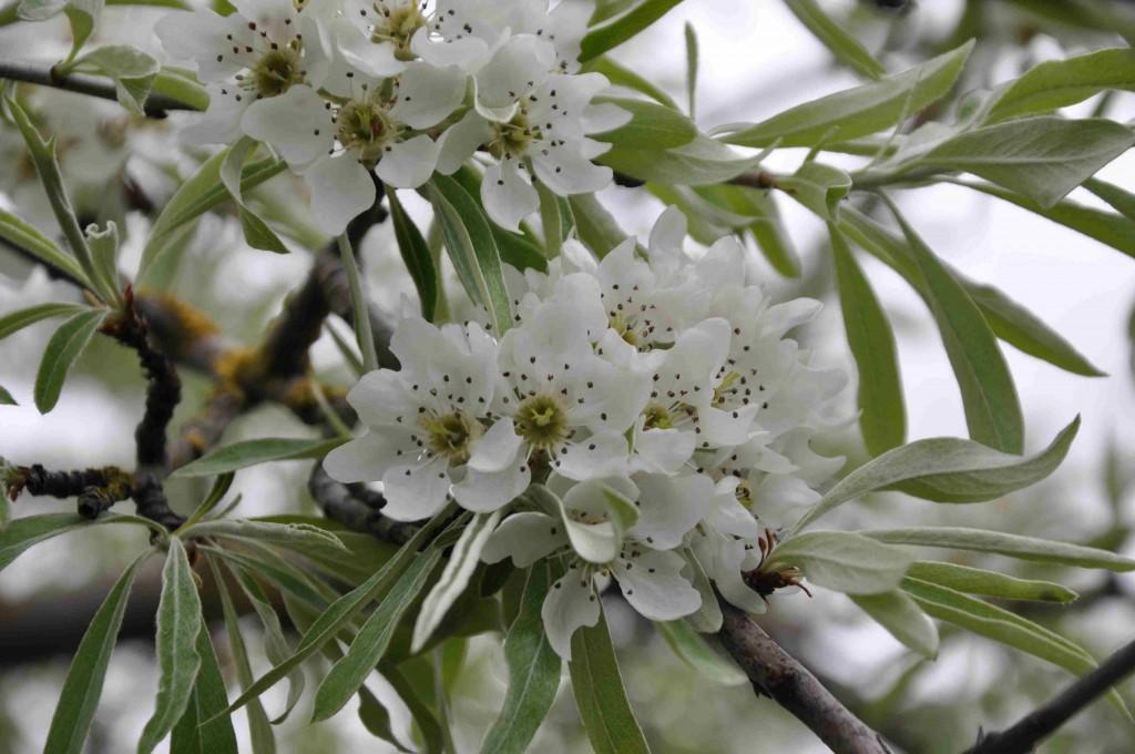 Smala, silvriga blad och stora vita blommor i klase har silverpäron.