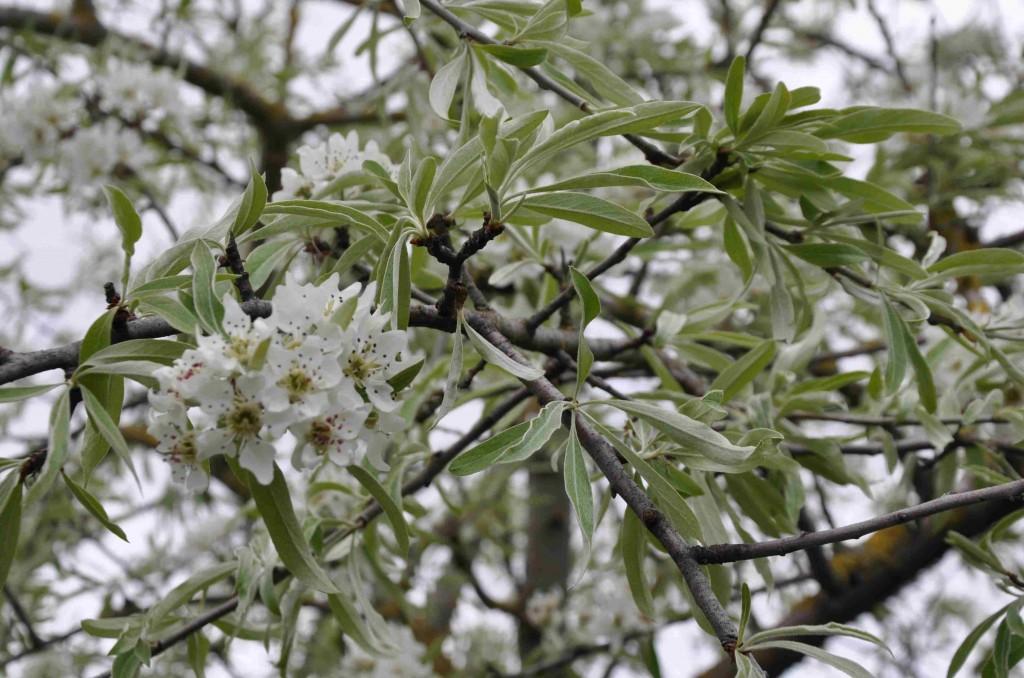 Silverpäronet har vita blommor med bruna fläckar som är ståndare.