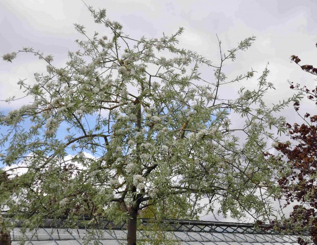 Silverbladiga silverpäron hör till de värmeälskande trädgårdsväxterna.