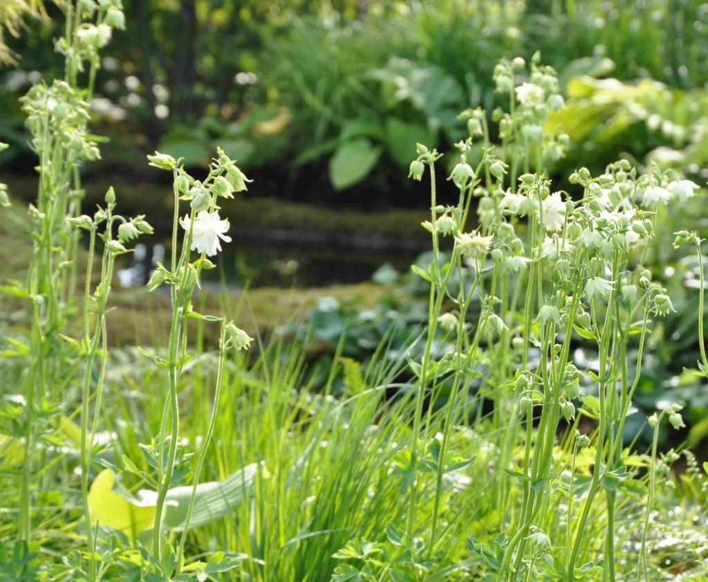 White Barlow heter den dubbla vita aklejan med små blommor.