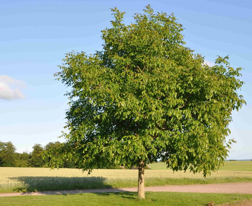 Valnöten blir ett brett träd som kräver mycket plats.