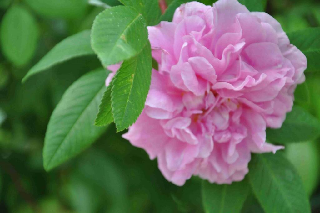 Therese Bugnet är en rugosahybrid med svag och god doft.