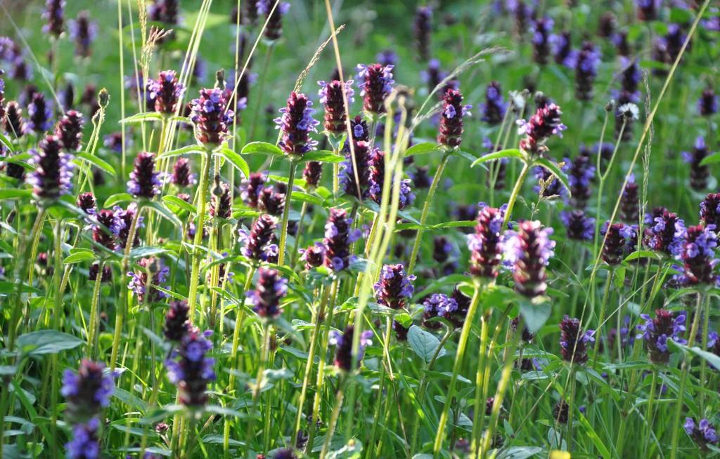 Brunörten är en växt som förekommer vild i nästan hela Norden.