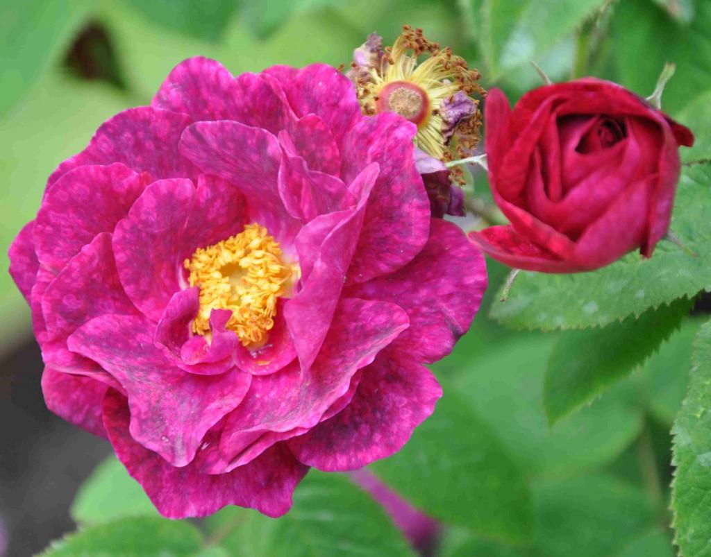 De melerade kronbladen hos rosen Alain Blanchard ger den ett alldeles speciellt utseende på nära håll.