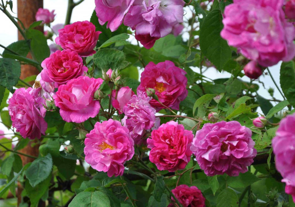 Multiflorarosorna har ett kraftigt växtsätt och synnerligen rik blomning.