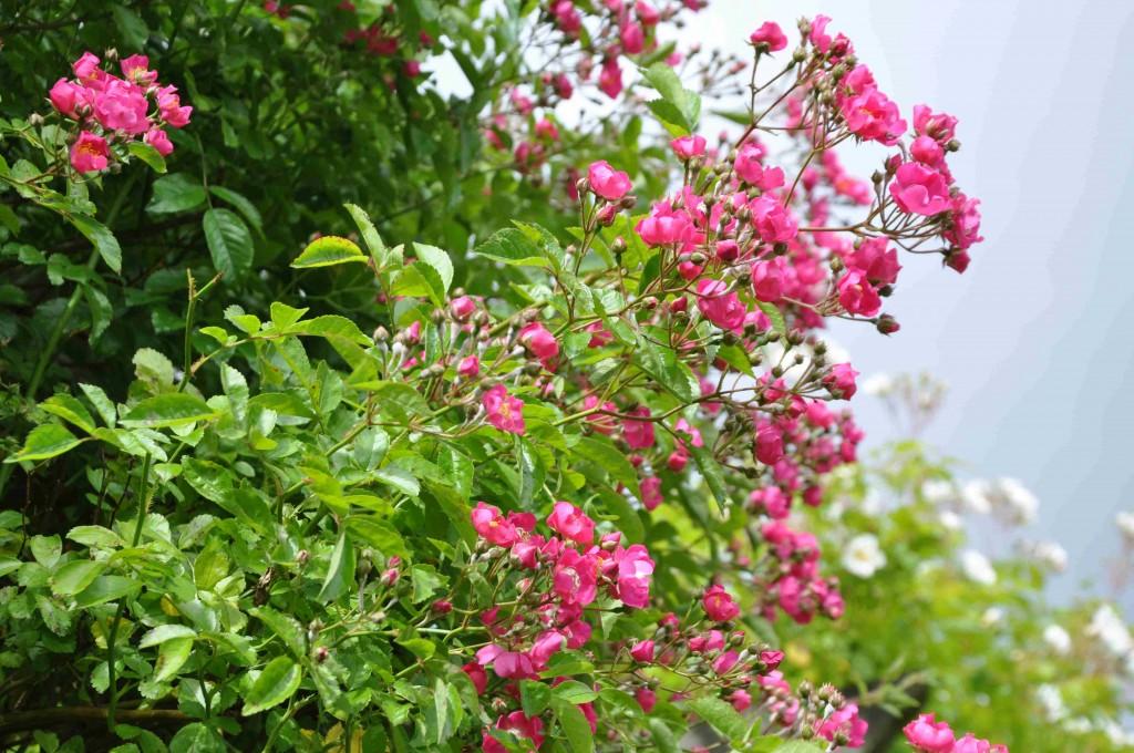 Maria Liesa är en mycket kraftigväxande klätterros som blommar rikligt med små, mörkrosa blommor.