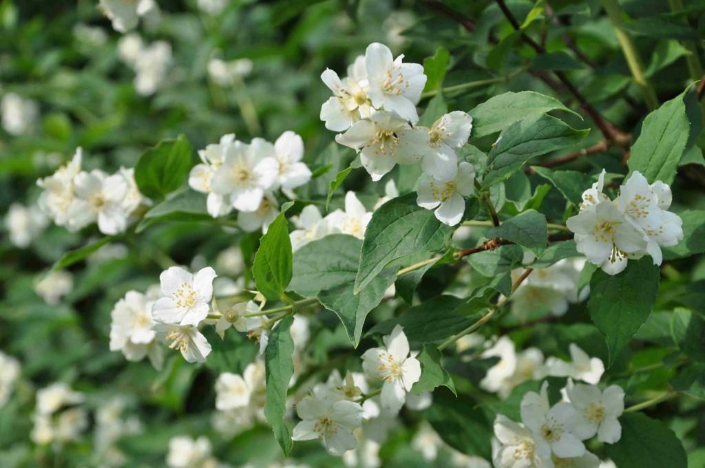 Doftschersminen blommar redan i medlet av juni.