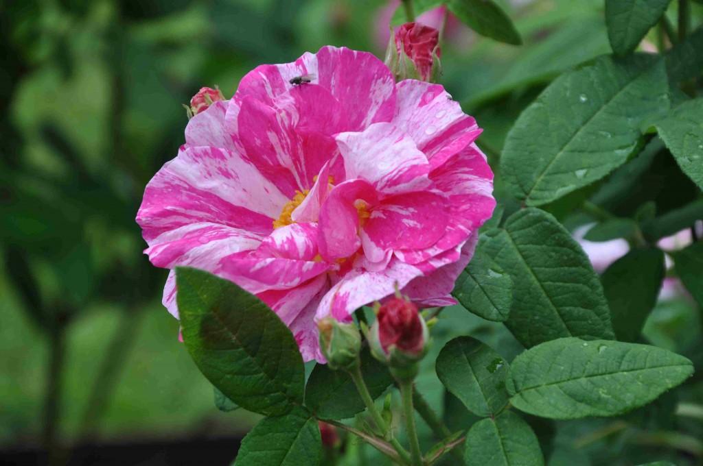 Polkagrisrosen Rosa Mundi är troligtvis en sport av Rosa 'Officinalis'.