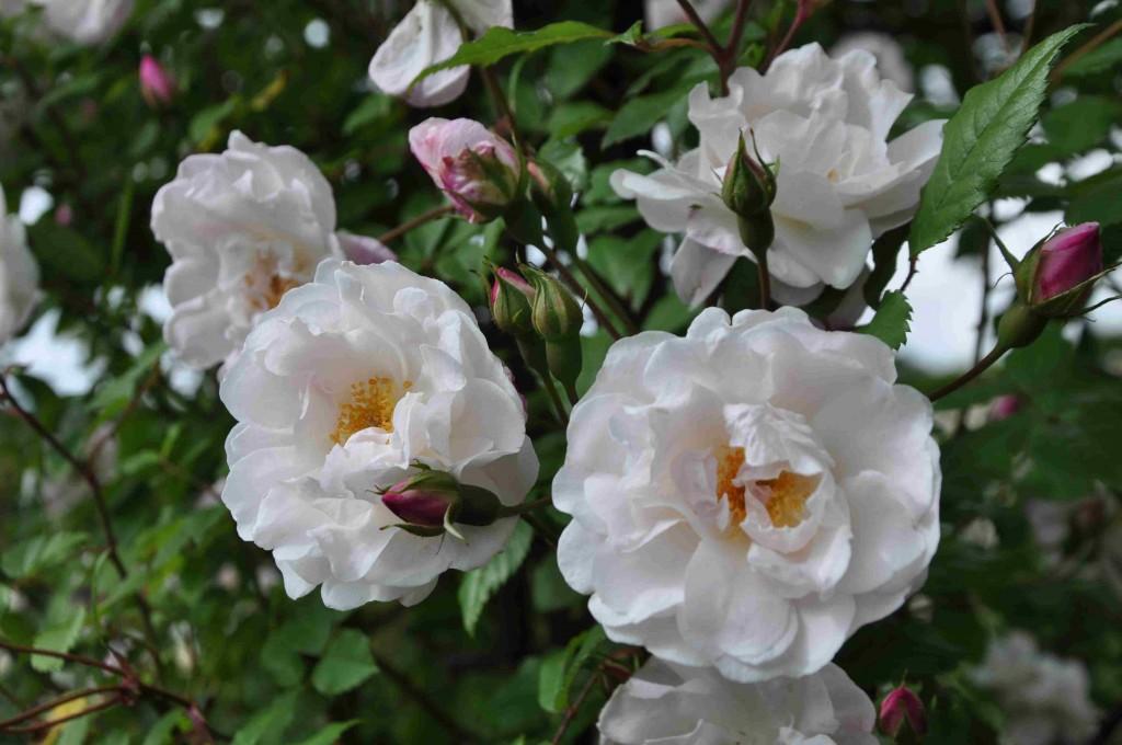 En rikblommande Venusta Pendula kan man ha i varje trädgård!