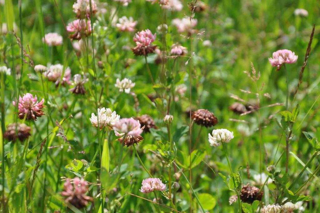 Klöverväxter är väl anpassade till ett kargt bete.