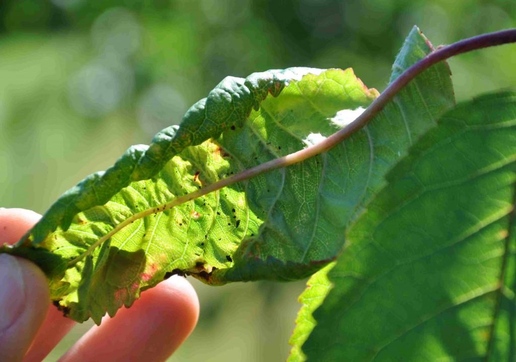 Körsbärsbladlusen är en liten, svartglänsande skalbagge som krullar ihop bladen.