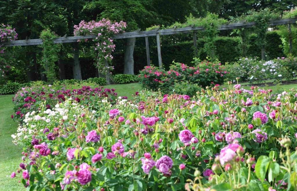 Rosenbänkarna är fullmatade med vackra och doftande rosor.