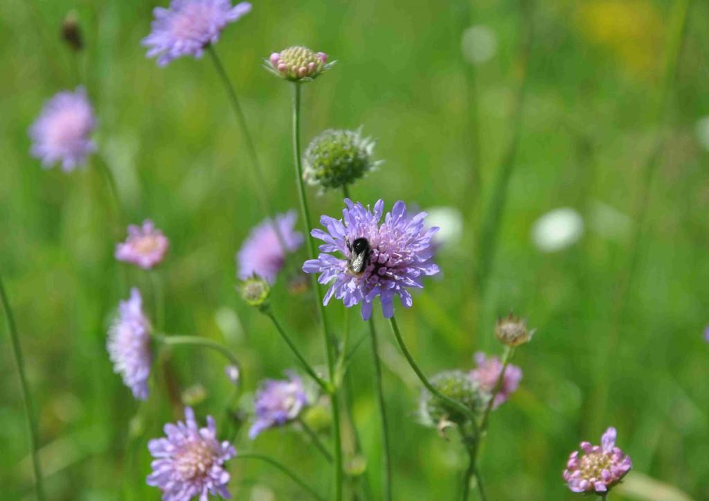 Åkervädden ger humlan nektar och pollen.
