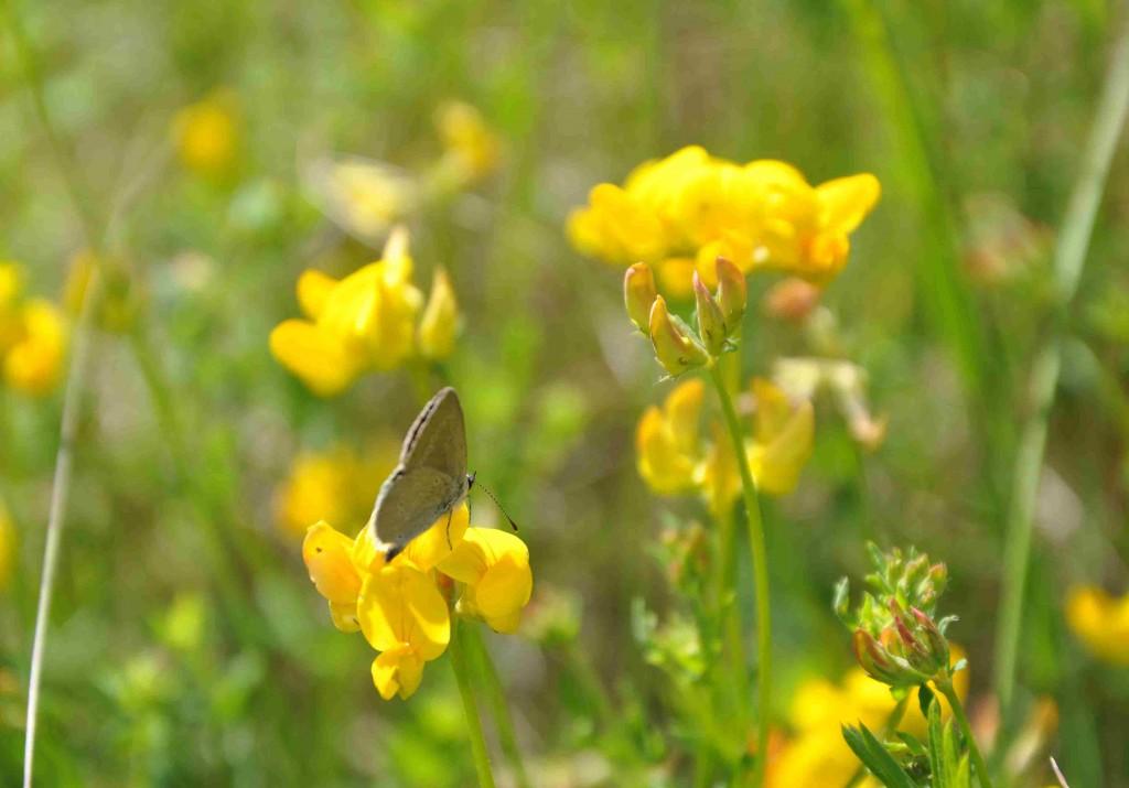 Käringtanden är en baljväxt med doftande, gula blommor.