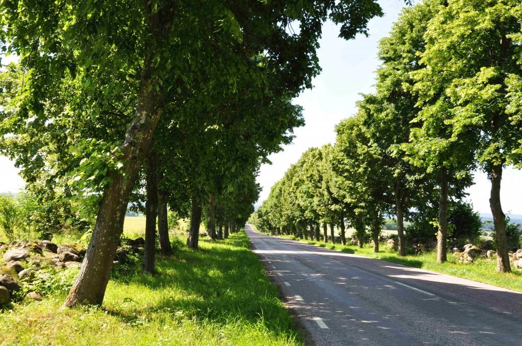 Lindar är vackra alléträd som används mycket både i stad och på landsbygd.
