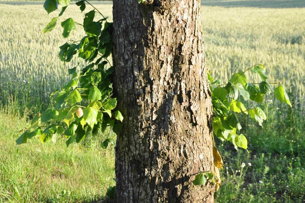 Många lindar skjuter enormt rikligt med stamskott.