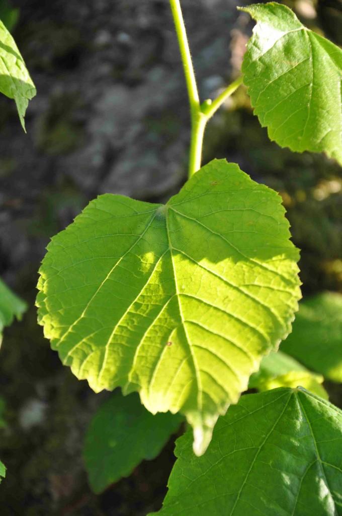 Lindens löv varierar mycket i storlek från små och nätta äldre blad hos skogslinden till enormt stora på årsskott.