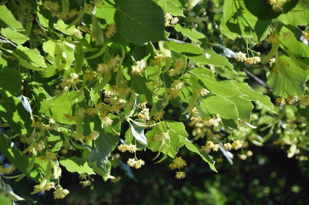 Linden blommar relativt sent, i juli månad.