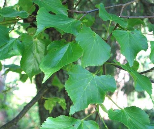 Bladlöss som sitter på lindens blad utsöndar sockersaft som gör gatorna hala.