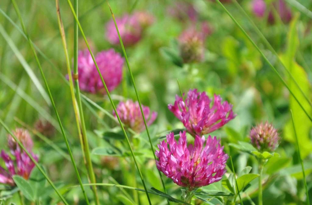 Rödklövern doftar gott och pollineras gärna av humlor.