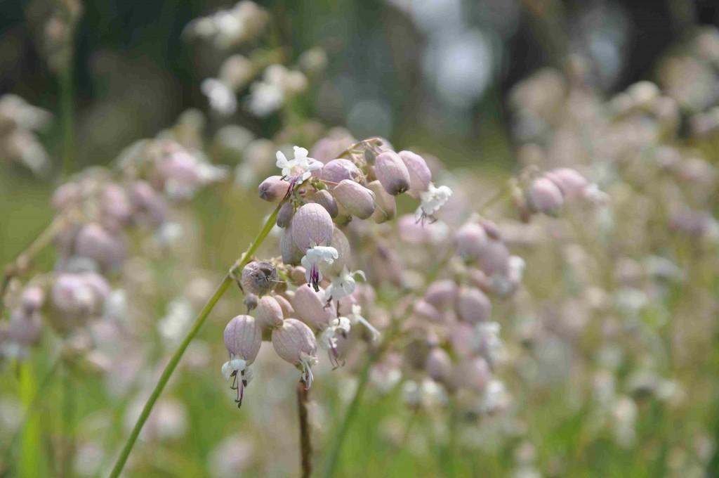 På något friskare mark växer smällglim som blommar i juli.