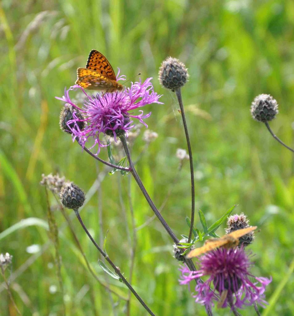 Pärlemorfjärilarna söker gärna föda bland väddklinten.