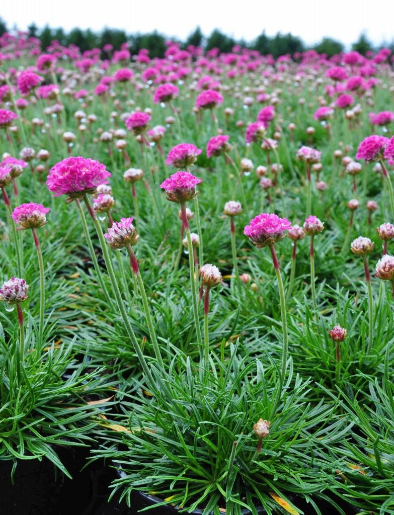 Den lilla triften är en typisk strandväxt som vill ha sandig och väldränerad jord.