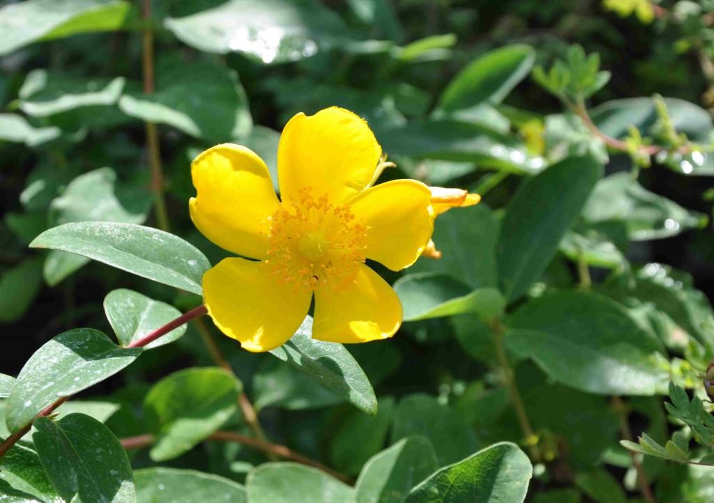 Storblommig hypericum är en pålitlig sensommarblommande buske med vackra, gula blommor.