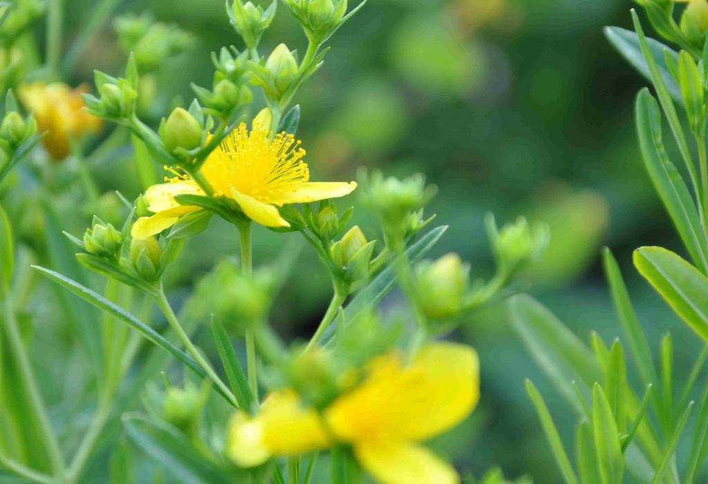 Vintergröna blad och små gula blommor har sorten 'Gemo'.