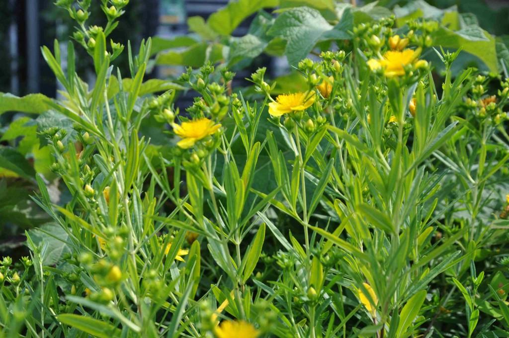 Prakthypericum blommar med små gula blommor i juli-september.