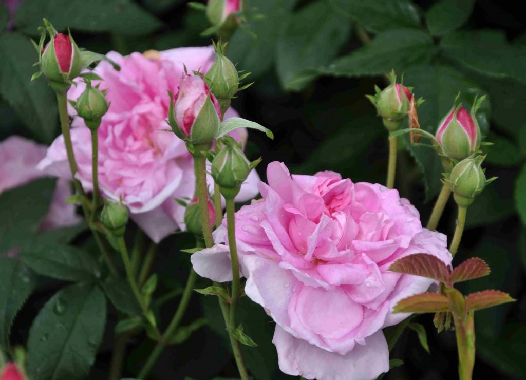 Ispahan är en härdig och frisk buskros som blommar länge.