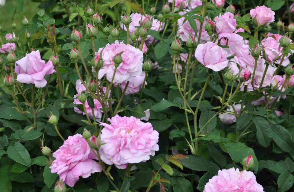 Ispahan är en kraftigväxande buskros med underbar doft.