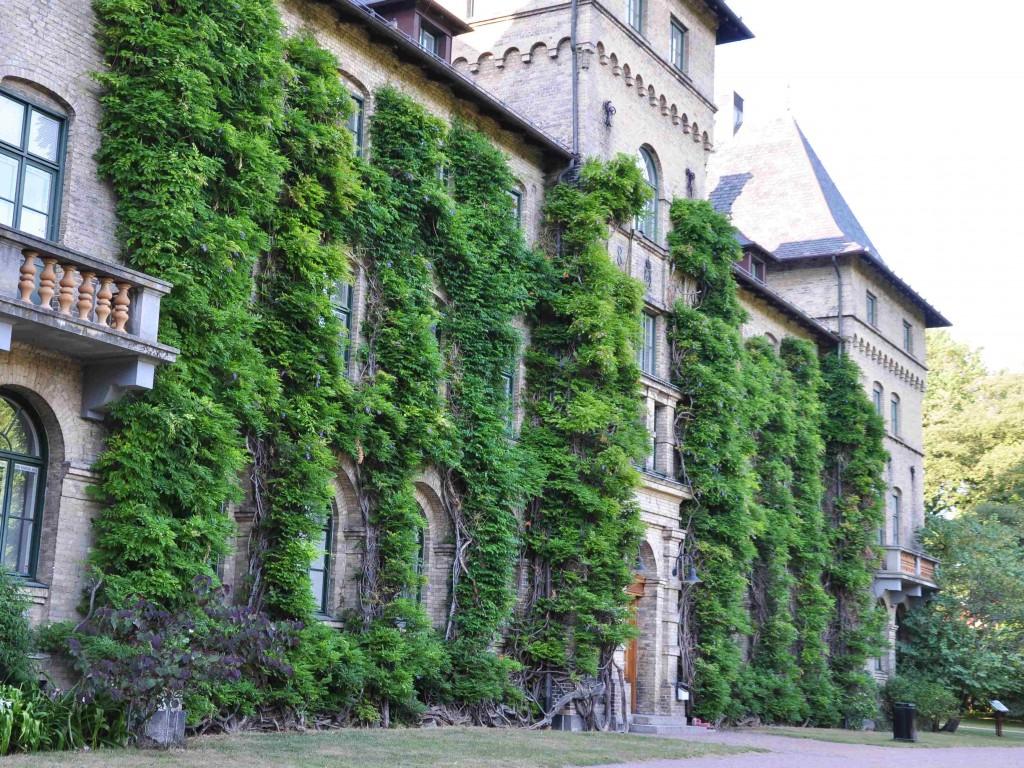 Wisterian på Alnarp klänger sig upp förbi tredje våningen på slottet.