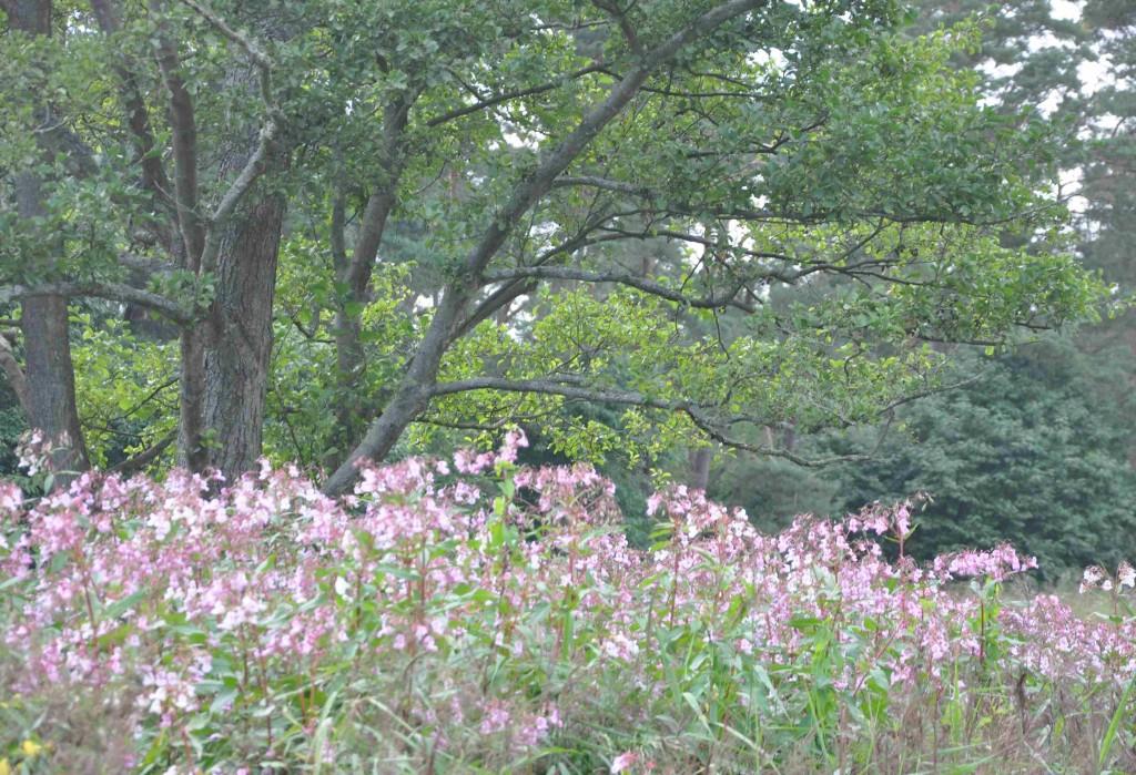 Balsaminen är ett storväxt ogräs som sprider sig ohämmat med frön.