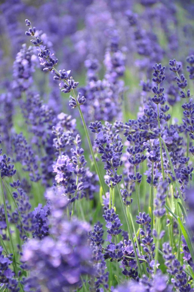 Mörkt blå lavendel med en underbar doft av medelhav.
