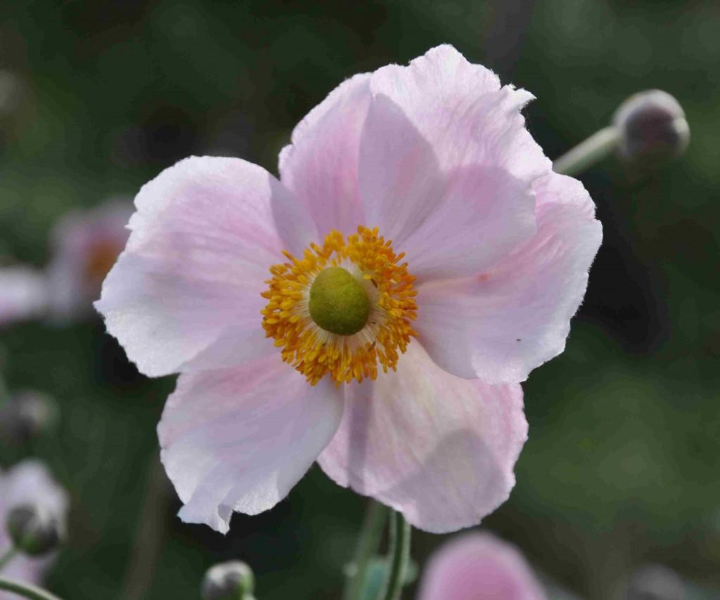 Höstanemonen blommar från juli-oktober, lite beroende på sort.