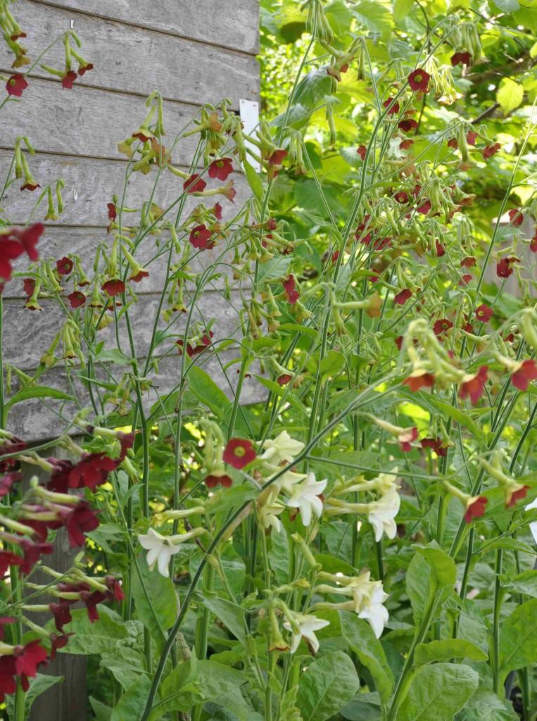 Klocktobak har lite mindre blommor än övriga blomstertobak.