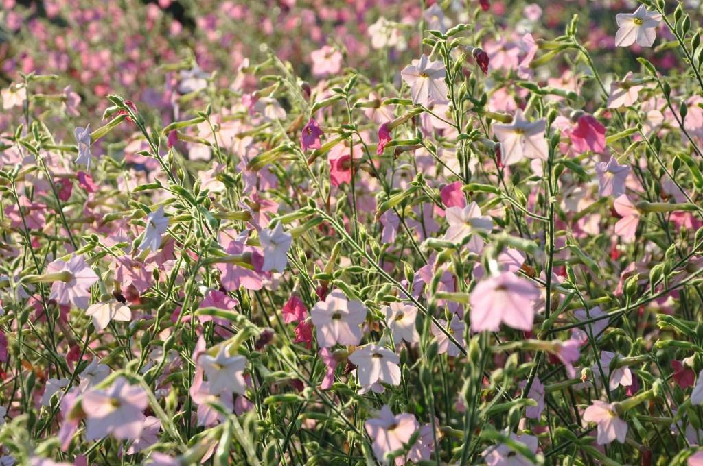Blomstertobak är en lättodlad utplanteringsväxt som trivs i välgödslad jord.