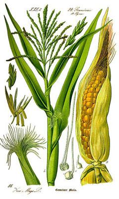 Majsen är en hög växt med både hon- och hanblommor på samma planta.