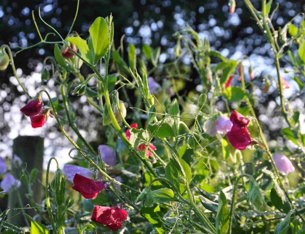 Luktärterna trivs i näringsrik och lucker jord.