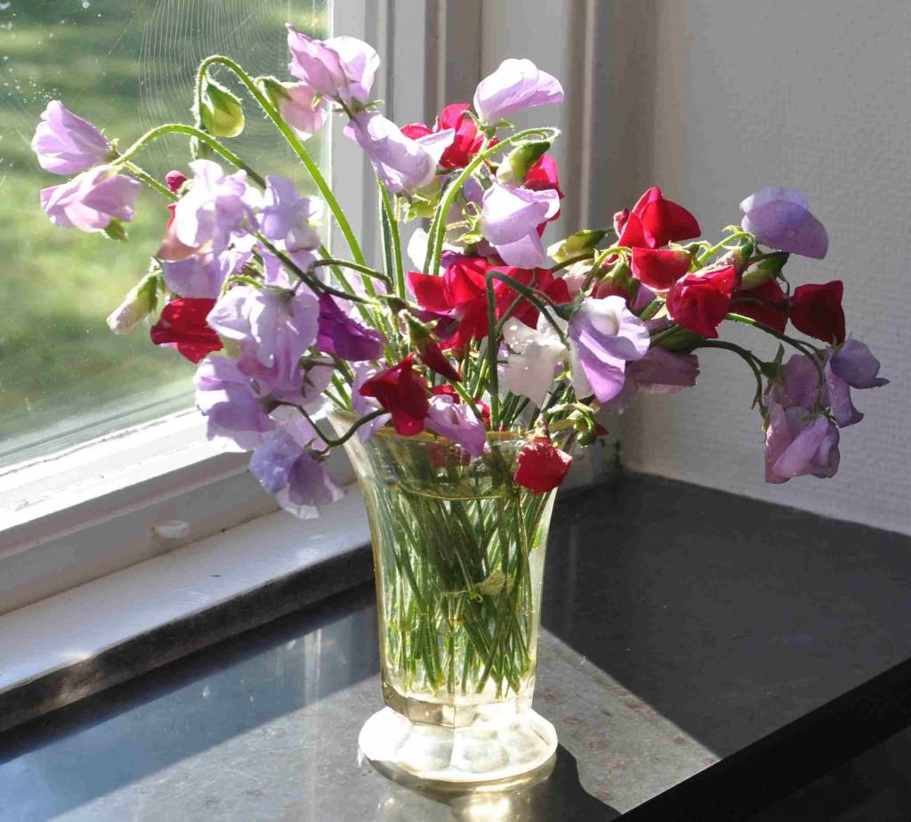 Plocka hela tiden blommorna som produceras, annars slutar luktärterna att blomma.