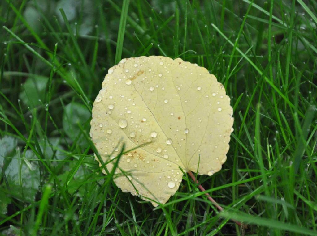 Katsurans blad får en sötsliskig doft av nybakta kakor vid lövfällningen.