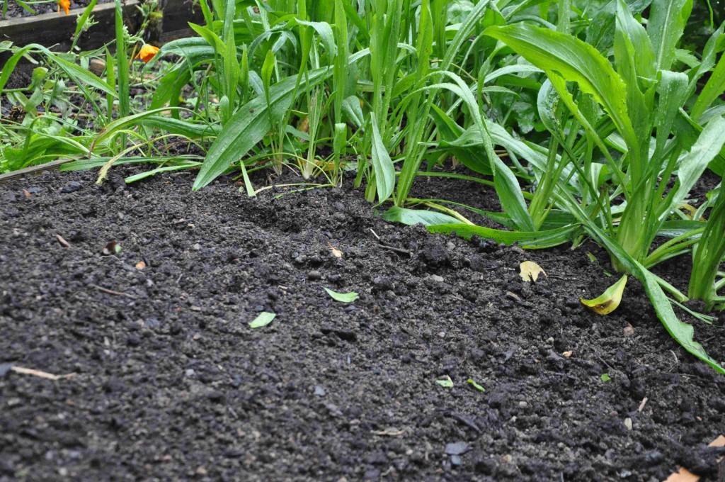 En nysådd yta med fröer som gror under hösten.