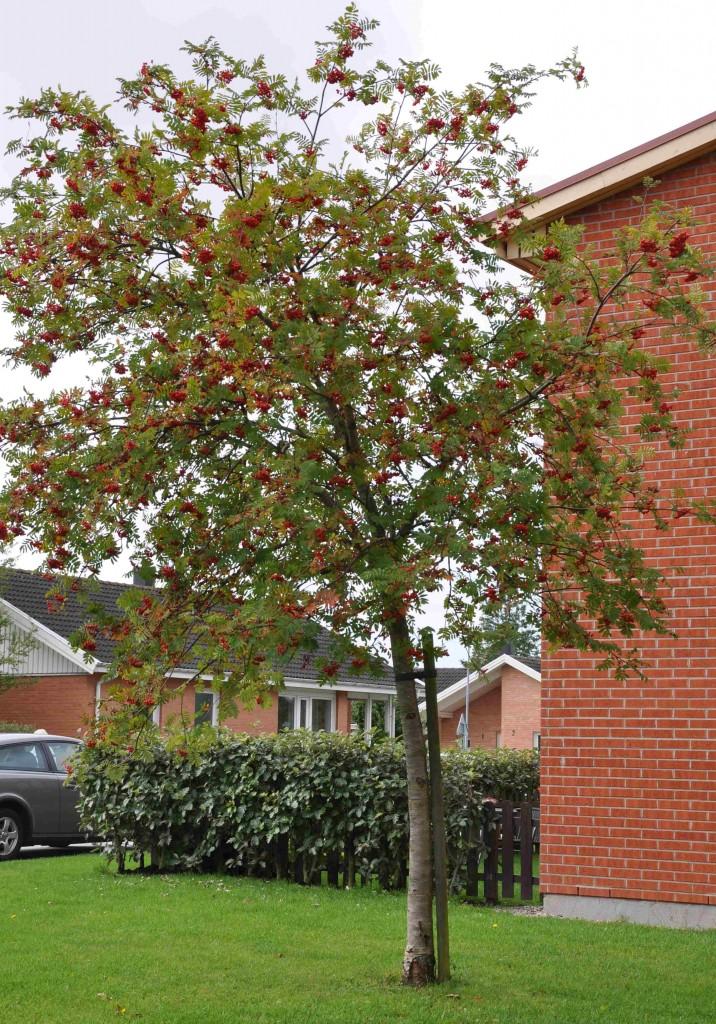 Många träd kan slippa uppbindningen efter 2-3 år när de fäst sig i marken.