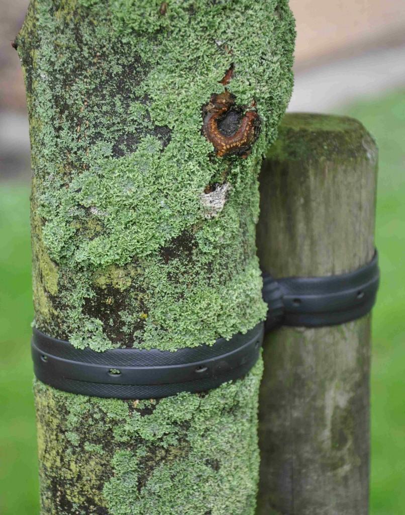 Breda gummiband får inte sitta kvar för länge då de kan växa in i barken.