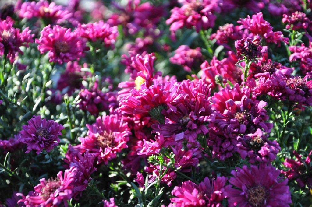 'Royal Ruby' tillhör de högre höstblommande perennerna och blir ca 1 m hög.