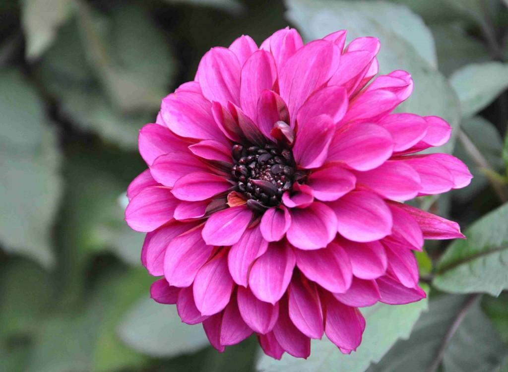 Blomformerna varierar från enkla-dubbla, fyllda, runda, bollstickiga och platta.