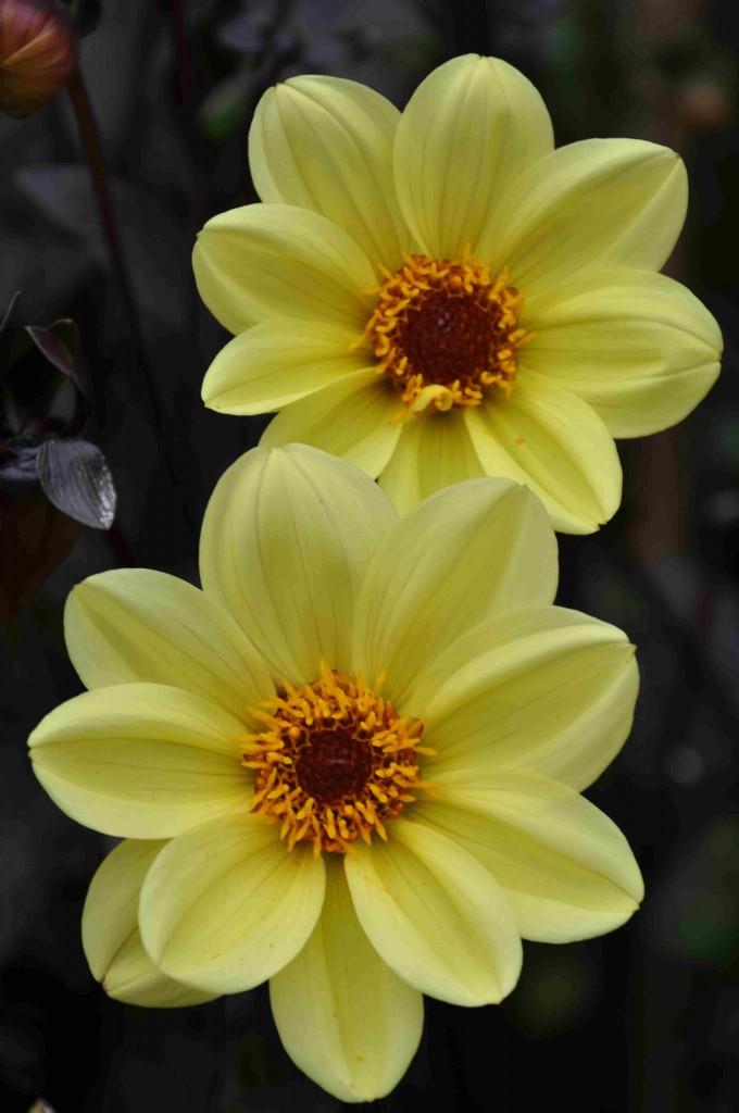Dahliorna blommar ända till frosten kommer om hösten.