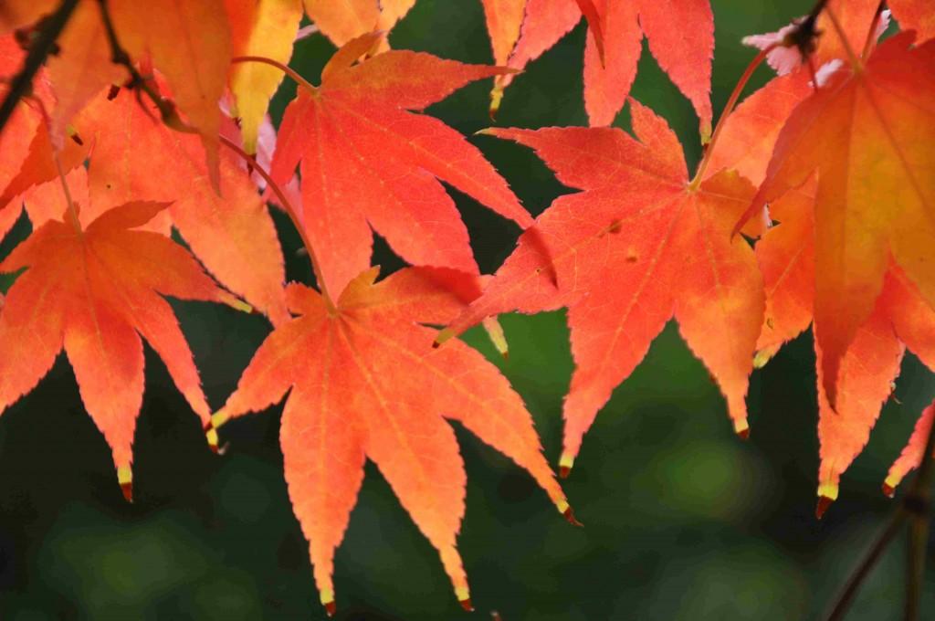 Japanska lönnar har alltid kraftiga höstfärger.