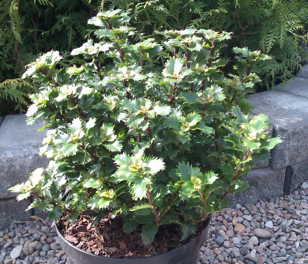 Vintergröna växter som järnek kan gärna planteras om våren eller sen höst.